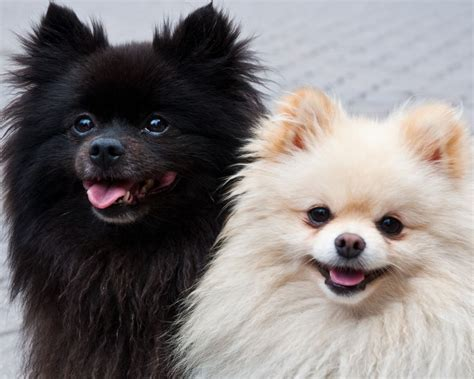 what do pomeranians like 1324 best pomeranians images on