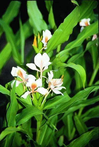 learn  hedychium pink flame hardy ginger lily