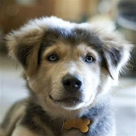 puppy mixes mixed puppies mixedpuppies