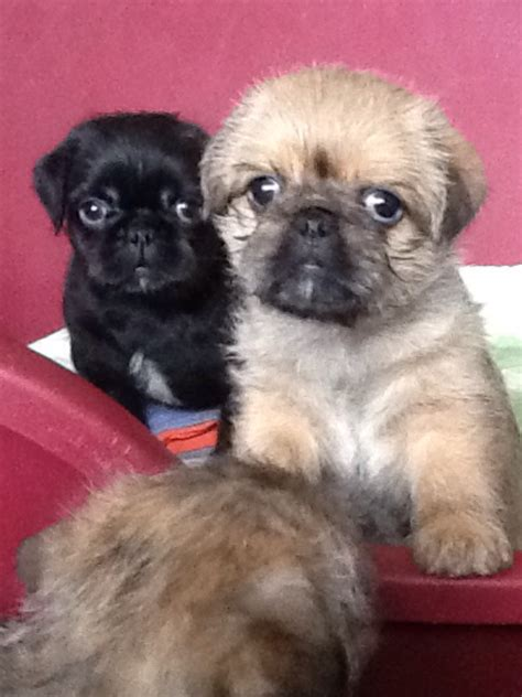 shih tzu pug mix breed pug x shih tzu breeds picture