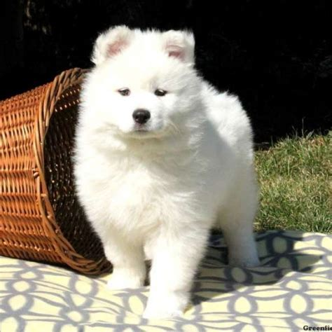 samoyed puppies for sale in pa samoyed puppies for sale in de md ny nj philly dc and baltimore