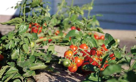 garden variety the american tomato from corporate to heirloom arts and traditions of the table perspectives on culinary history books expert tips for growing early tomato varieties organic