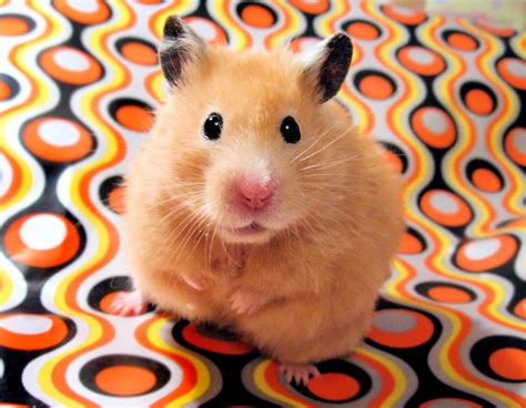 finding a lost how to find a lost hamster tips and tricks