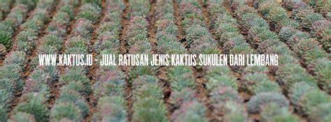 bibit sukulen bibit kaktus mini bonsai kaktus aneka