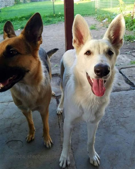 White German Shepherd Shedding by 17 Best Images About Canine Collection On