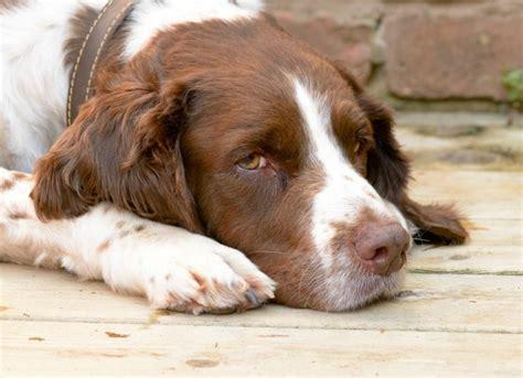 Racoon Disease In Dogs Petmd