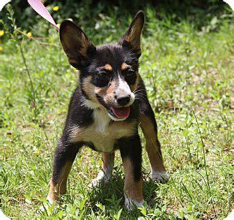 corgi puppies chicago macey adopted puppy chicago il corgi mix