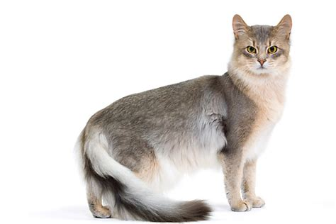 Somali Cat Blue, Ruddy, Red Breed Info, Personality