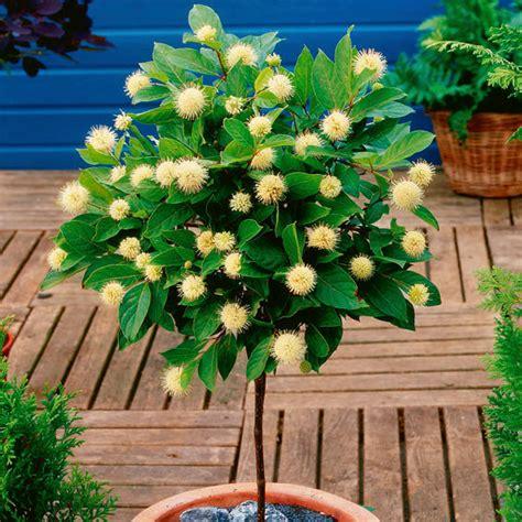 sternenzauber baum g 228 rtner p 246 tschke - Sternenzauber Baum