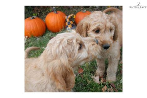 chocolate brown goldendoodle puppies for sale brown goldendoodle puppies www imgkid the image kid has it