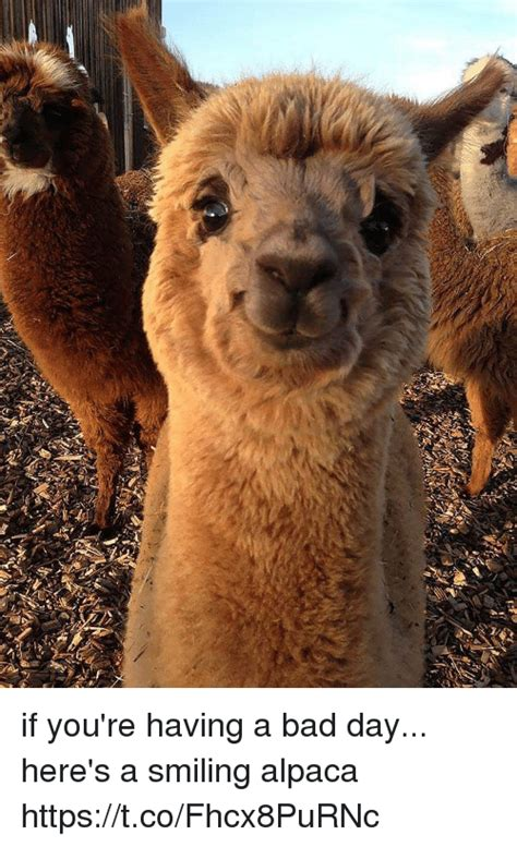 alpaca meme if you re a bad day here s a smiling alpaca