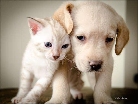 snow bengal kitten labrador puppy