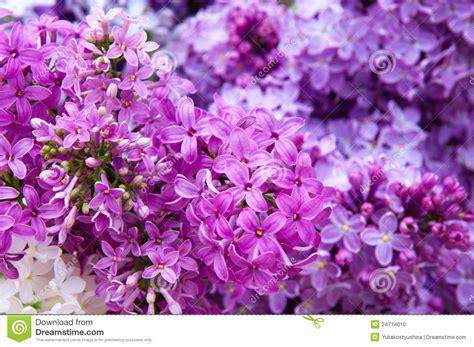 cespugli da fiore macro dei fiori da un fiore cespuglio lilla fotografia