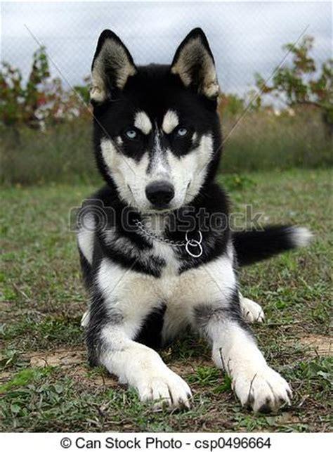 baby husky. puppy purebreed siberian husky stock photo