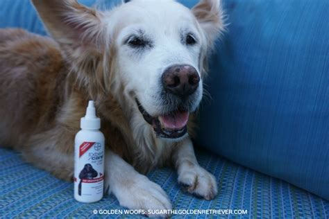 cleaning golden retriever ears ear cleaning with bayerexpertcare golden woofs