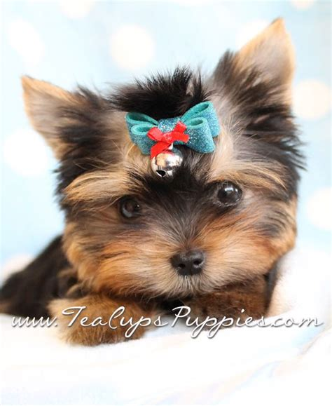 photos of teacup yorkies teacup yorkie teacup yorkie teacup yorkie teacup yorkie