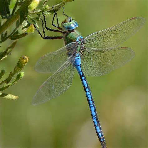 images of dragonflies dragonflies pictures on animal picture society