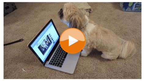 singing shih tzu 5 tips on taking care of shih tzu puppies shih tzu daily