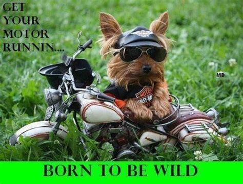 yorkie on motorcycle born to be motorcycle motorbike humor quotes photos to be