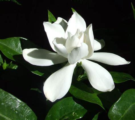 gardenia pianta da giardino gardenia giardinaggio piante appartamento come