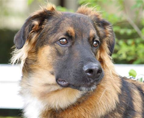 german shepherd australian shepherd mix german australian shepherd info temperament care puppies pictures