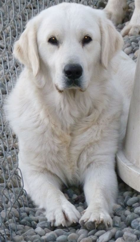 washington golden retriever breeders golden retriever adopt wa dogs in our photo