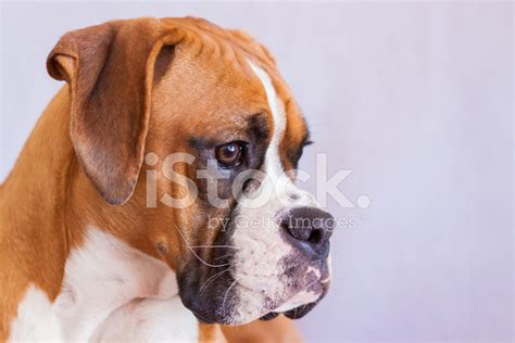 fawn boxer puppies flashy fawn boxer puppy headshot stock photos freeimages