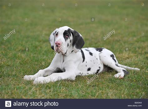 harlequin great dane puppies harlequin great dane www imgkid the image kid has it