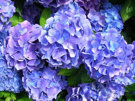 Hortensia Purple file 200707 x hortensia 02 jpg