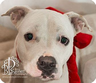 puppies for adoption tallahassee tallahassee fl american bulldog boxer mix meet pearl a for adoption