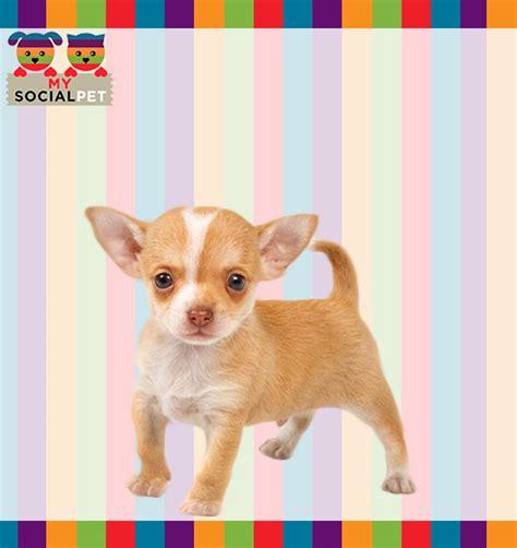 alimentazione cucciolo chihuahua chihuahua razza origine carattere cure foto