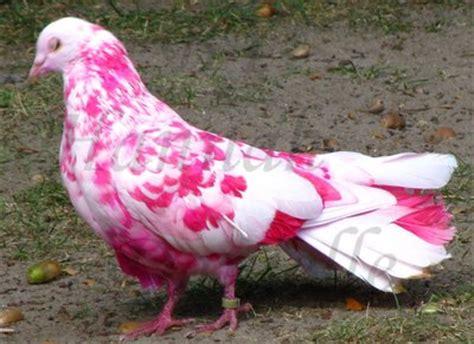 pink pigeon by artbyhannahdanielle on deviantart