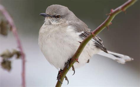 northern mockingbird redorbit