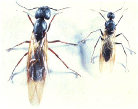 large ants in bathroom 28 flying ants in bathroom sink how