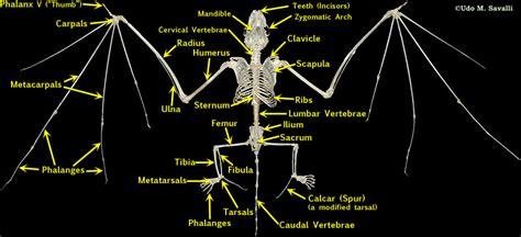 labelled diagram of a bat bat skeleton labeled anatomical skeleton