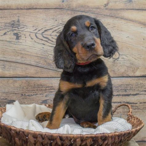 gordon setter doodle puppies for sale in pa