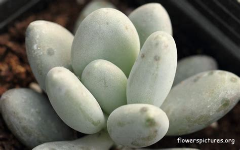 Types Of Orange Color by Pachyphytum Oviferum Sugaralmond Plant Or Moonstone Pictures
