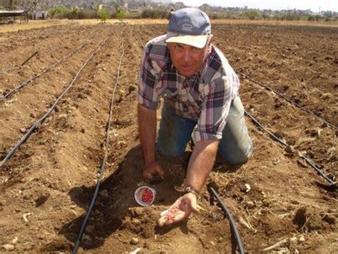 Bibit Jagung Ungu cara mudah menanam jagung dari biji agar cepat tumbuh
