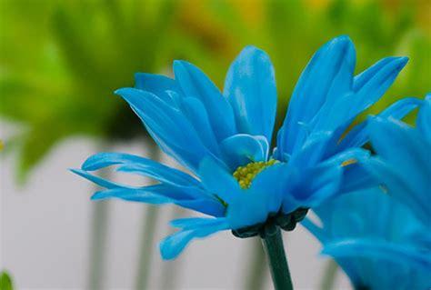 17468 Blue Flowers 2 Warna aura flowers by color mizzaiza