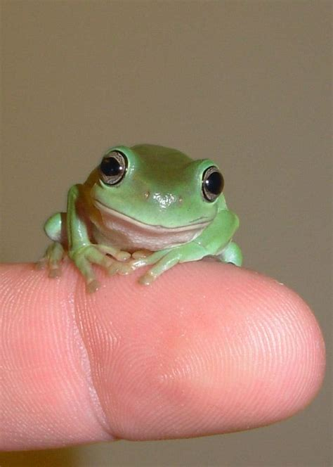 baby white tree frog i just got one as a pet pet frogs