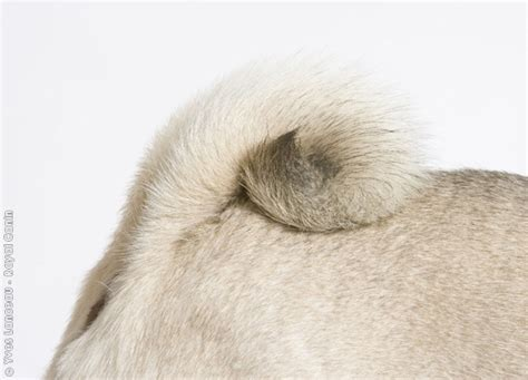 pug tails the 139 best images about pug on a pug pug meme and pug