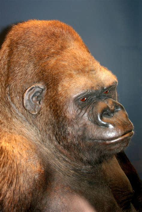 Berlian 0 245 Ct Brown gorilla bobby museum fur naturekunde berlin 10th