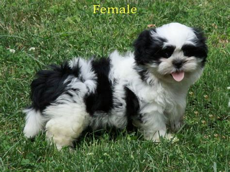 happy shih tzu happy shih tzu puppy outside puppies for sale dogs for sale in ontario canada