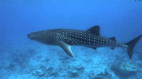 baby shark whale swimming with a baby whale shark in the maldives youtube