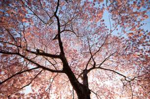Cherry Bloosom Tree beautiful pictures cherry blossom trees beautiful