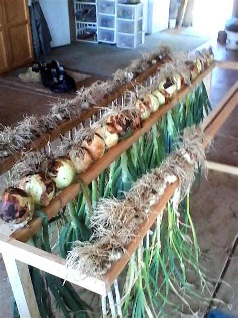 drying rack jim   dry onions  garlic vegetable