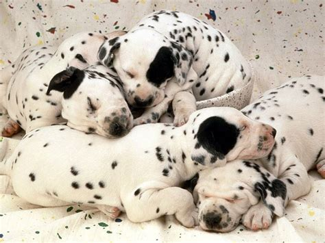 black and white puppies black and white dogs wallpaper