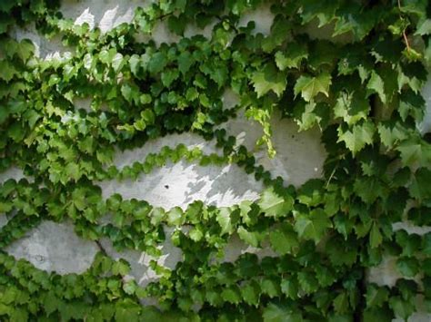 deer resistant climbing plants the world s catalog of ideas