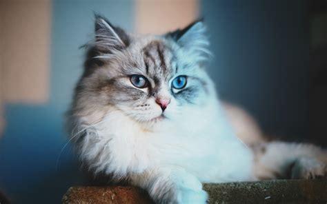 wallpaper blue cat blue cat meow wallpaper allwallpaper in 5678 pc en
