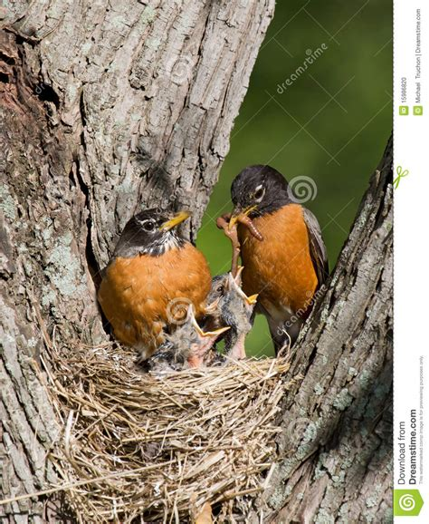 robins feed their young stock photo image 15986820